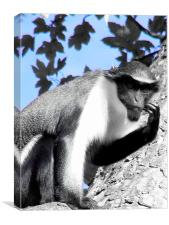 Diana Monkey, Canvas Print