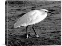 The Little Egret, Canvas Print