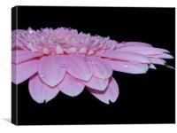 Pink Gerbera Daisy II, Canvas Print