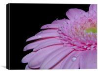 Pink Gerbera Daisy IIII, Canvas Print