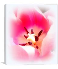 Beautiful Tulip, Canvas Print