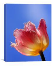 Sky High Tulip, Canvas Print
