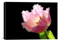 Tulip On Black, Canvas Print