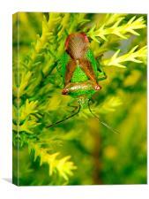 Hawthorn Shield Bug, Canvas Print