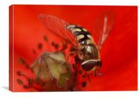 Hoverfly On A Poppy, Canvas Print