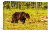 Brown bear in Martinselkonen, Canvas Print