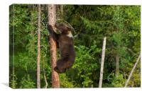 Climbing brown bear cub, Canvas Print
