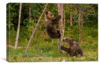 Climbing brown bear cubs, Canvas Print