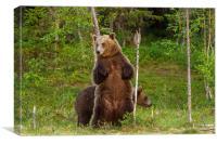 Bear scrubbing, Canvas Print