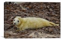 Dune Seal cub, Canvas Print