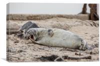 Yawn seal, Canvas Print