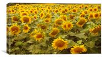 Just sunflowers!, Canvas Print