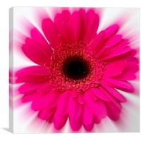 Pink Fizz - Germini., Canvas Print