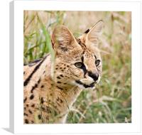 African Malawi Serval, Canvas Print