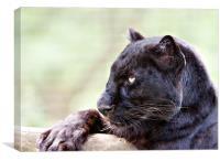 Black Leopard, Canvas Print