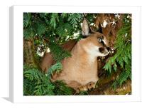 Caracal Lynx, Canvas Print