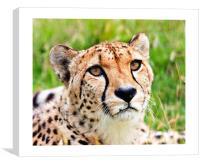 Cheetah, Canvas Print