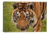 Siberian Tiger, Canvas Print