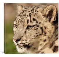Snow Leopard Cub, Canvas Print