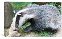 Baby Badger, Canvas Print
