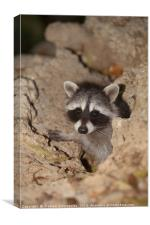 raccoon, Canvas Print