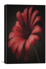 PORTRAIT OF A GERBERA, Canvas Print