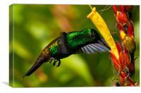 Copper Rumped Hummingbird, Canvas Print