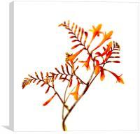 Crocosmia Montbretia Masonorum Flower and Foliage, Canvas Print