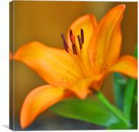 Madonna Lily flower, Canvas Print