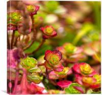 Sedum Spurium Foliage