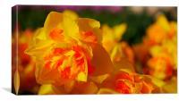 Golden daffodil, Canvas Print