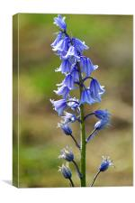 Bluebell, Canvas Print