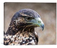 Black Chested Buzzard Eagle, Canvas Print