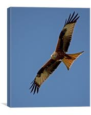 Red Kite over Berkshire (2), Canvas Print