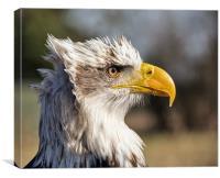 American Bald Eagle., Canvas Print