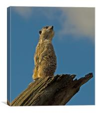 Slender-tailed Meerkat, Canvas Print