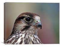 Lanner Falcon, Canvas Print