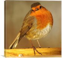 robin enjoying the sun, Canvas Print