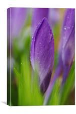 purple crocus, Canvas Print