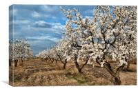 Almond Blossom in Spain, Canvas Print