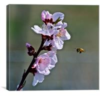 Almond Blossom with Honey Bee, Canvas Print