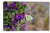 Cabbage Butterly, Canvas Print