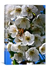 Cherry Blossom with a visitor!, Canvas Print