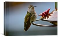 Female Hummingbird, Canvas Print
