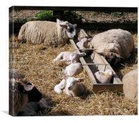 Lambing Time, Canvas Print