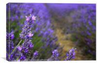 Lavender, Canvas Print