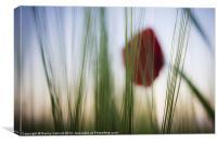 Poppy in Barley, Canvas Print