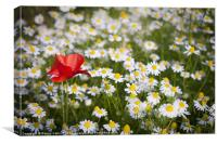 Poppy and Daisies, Canvas Print