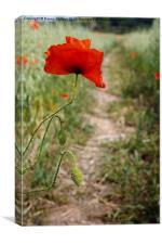Common Red Poppy, Canvas Print