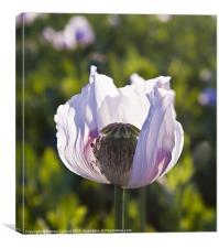 Opium poppy, Canvas Print
